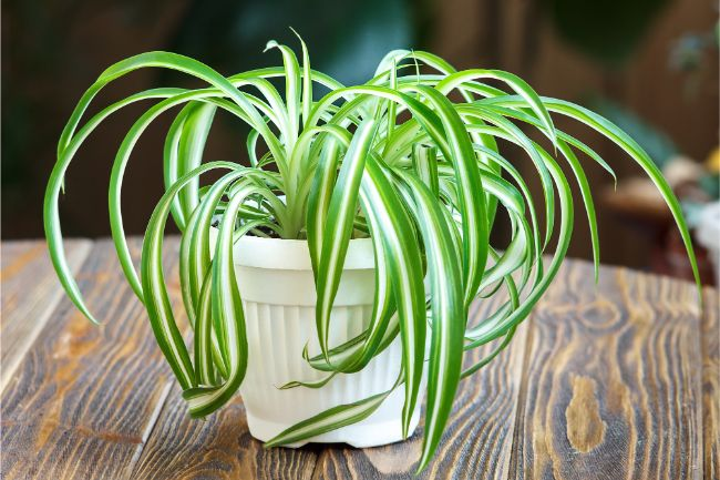 spider plant best houseplants for beginners