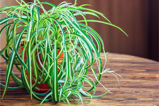 spider plant brown tips on leaves chlorophytum comosum