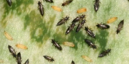 how to get rid of thrips on houseplants naturally