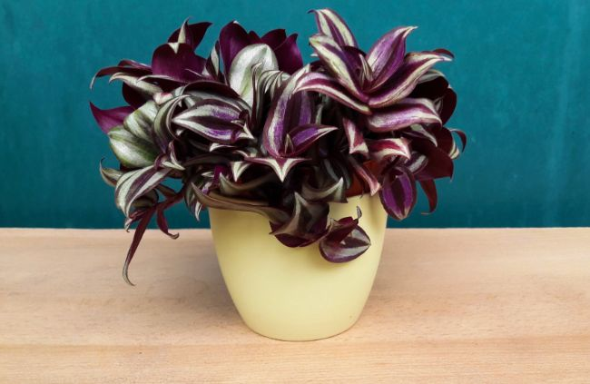 wandering jew tradescantia zebrina best houseplants for beginners