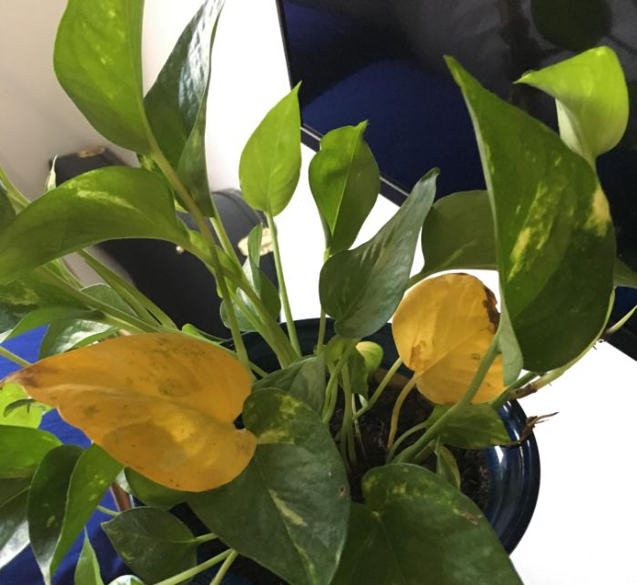 why are my pothos leaves turning yellow