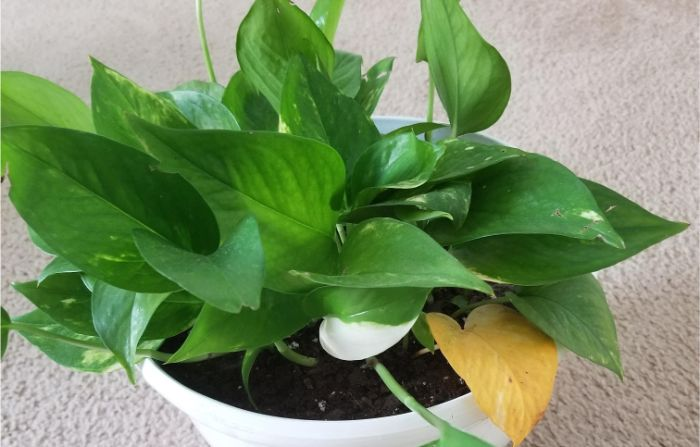 why-are-my-pothos-leaves-turning-yellow-7 Leaves On House Plant Yellow Then Brown on spider mites on house plants, yellow leaves on strawberry plants, brown spots on house plants, brown tips on house plants, aphids on house plants, leaf drop on house plants, bugs on house plants, yellow leaves on tomato plants, dropping leaves on house plants, browning leaves on house plants,