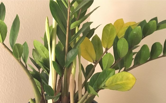 Zz Plants Houseplant