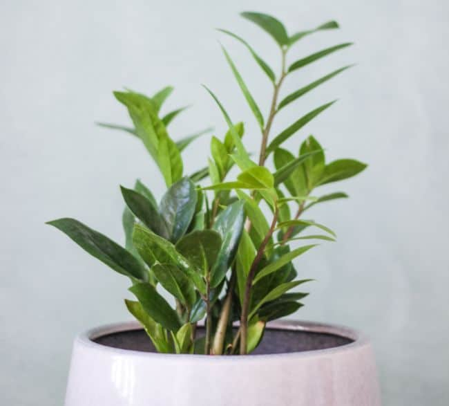 zz plant zamioculcas zamifolia best houseplants for beginners