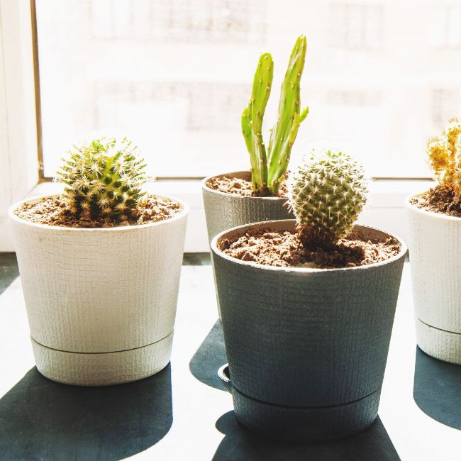 how often to water cactus plants indoors