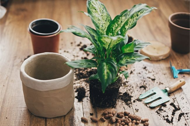 Repot to get rid of mold in indoor plant soil