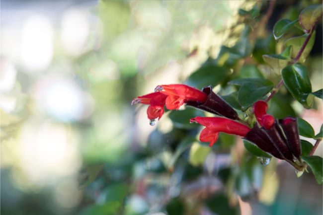 lipstick plant care aeschynanthus radicans