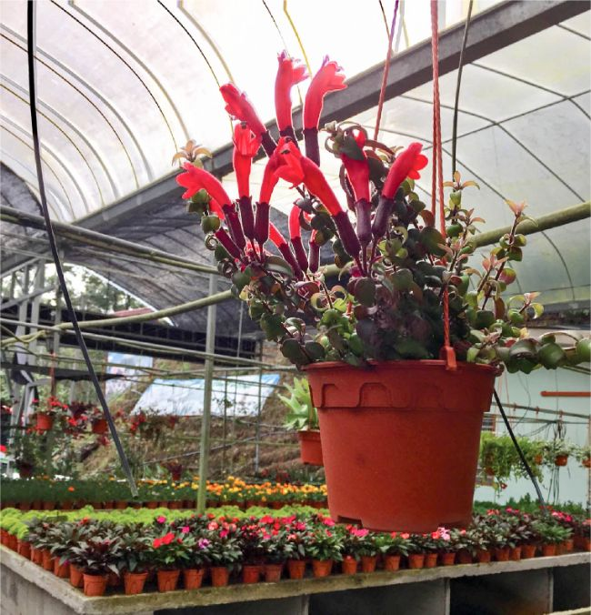How To Care For A Lipstick Plant Aeschynanthus Radicans Smart