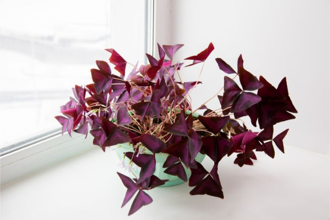 Oxalis triangularis plant purple shamrock on windowsill