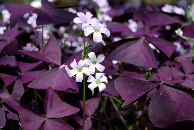 oxalis triangularis plant purple shamrock flowers