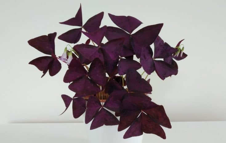 oxalis triangularis plant purple shamrock