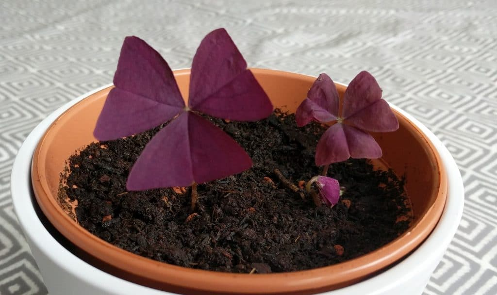 oxalis triangularis plant purple shamrock two weeks after potting