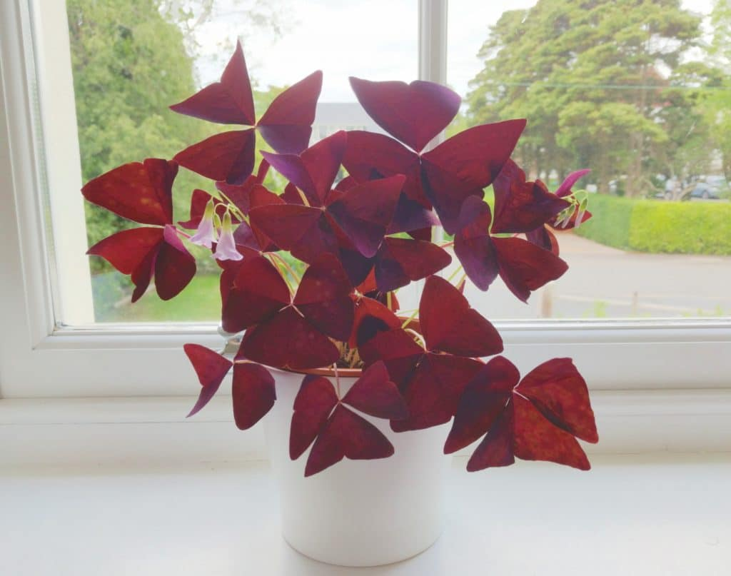 oxalis triangularis plant purple shamrock in east facing window five week old plant