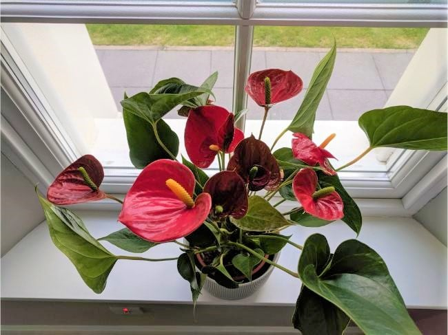 why is my anthurium not flowering
