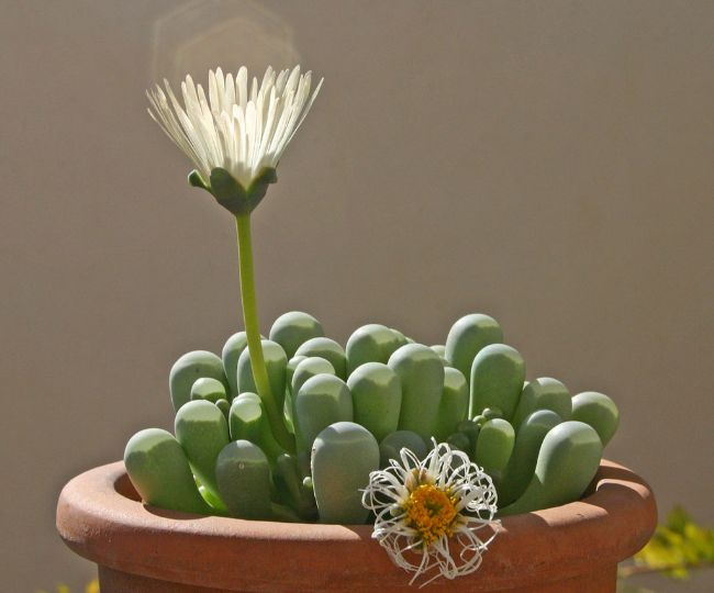 baby toes succulent plant small