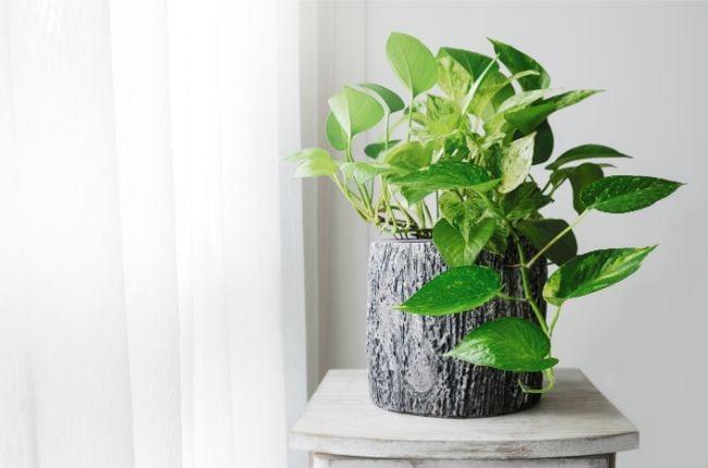 pothos plant small houseplant