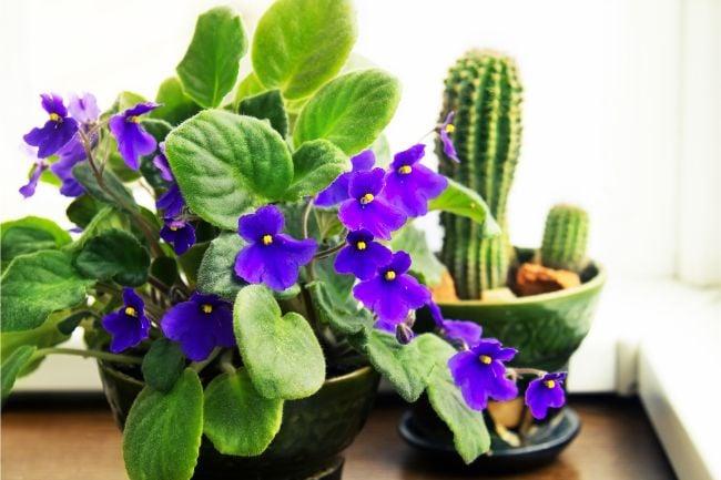 african violet saintpaulia challenging small indoor flowering plant