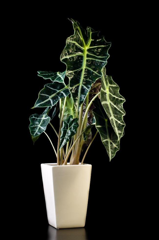 alocasia amazonica care alocasia polly