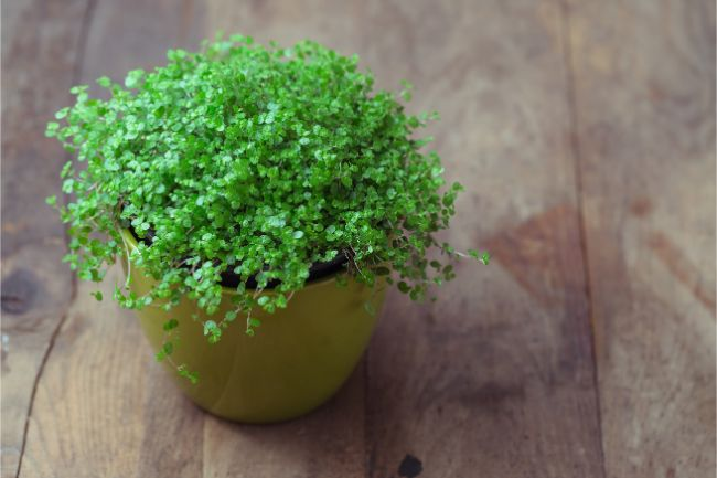 baby tears small indoor plants soleirolia soleirolii