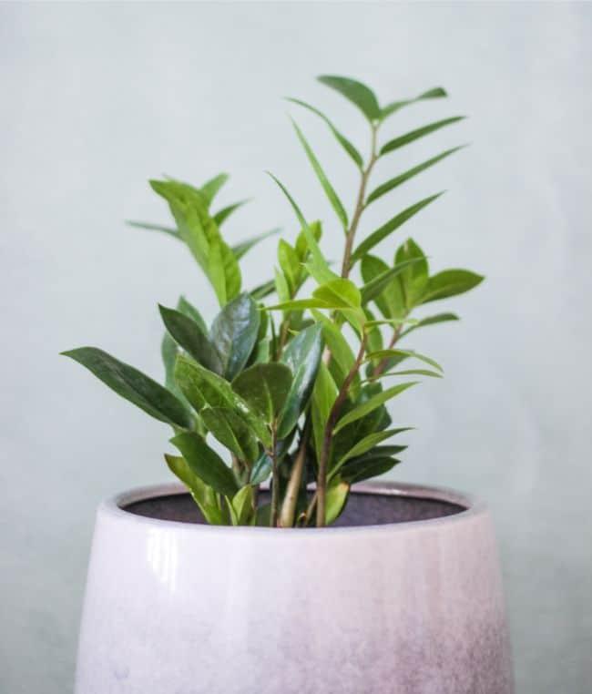 zz plant zamioculcas zamiifolia