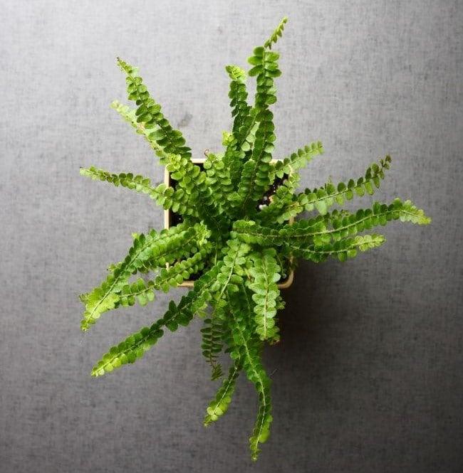 button fern pellaea rotundifolia small indoor plants