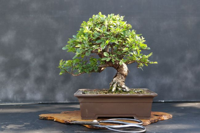 chinese elm bonsai small indoor plant