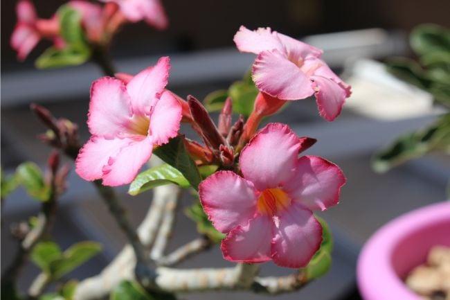 desert rose adenium houseplant