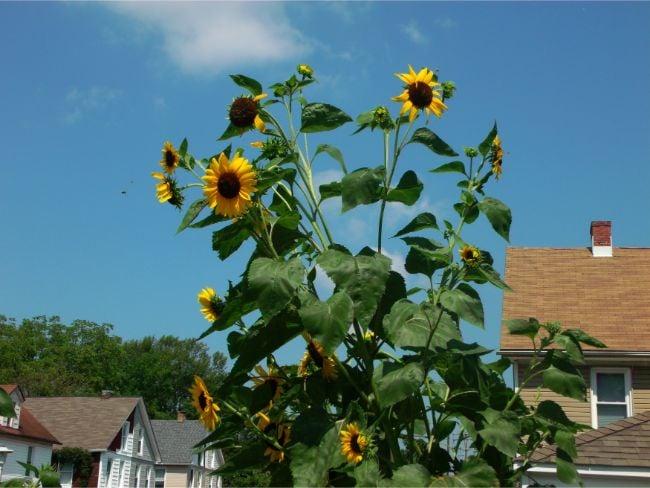 how tall can sunflowers grow