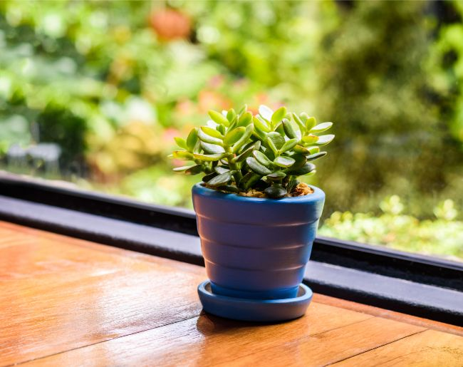 jade plant crassula ovata small indoor plant on windowsill