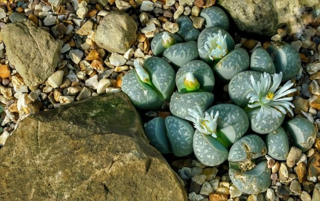small lithops plants flowering