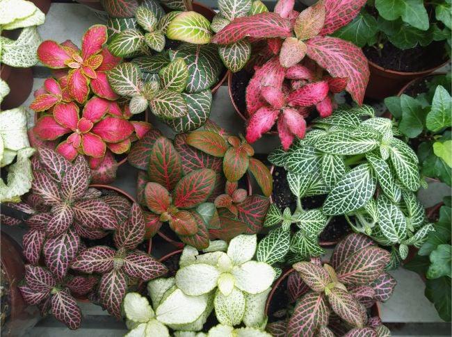 nerve plant small houseplants