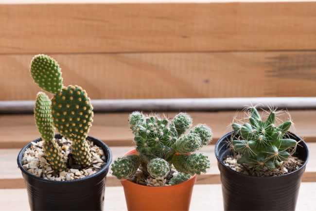 3 small cacti on a shelf