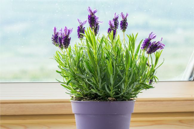 small lavender houseplant