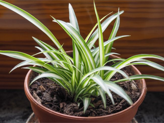 small spider plant to grow at home