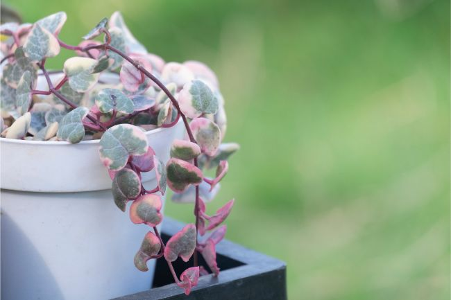 string of heart plant ceropegia woodii