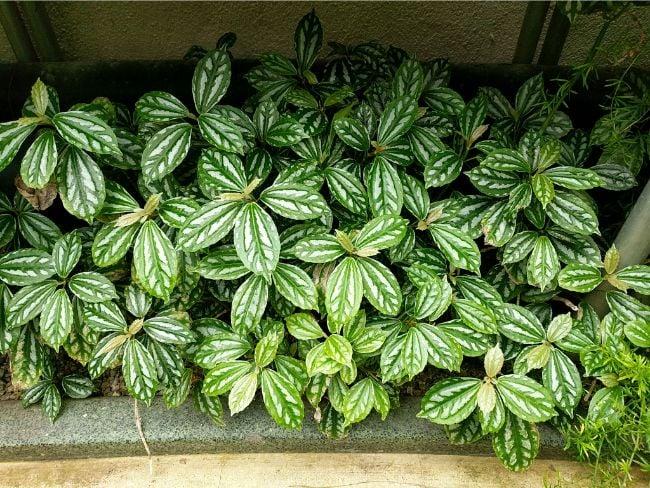 aluminum plant pilea cadierei closed terrarium plants