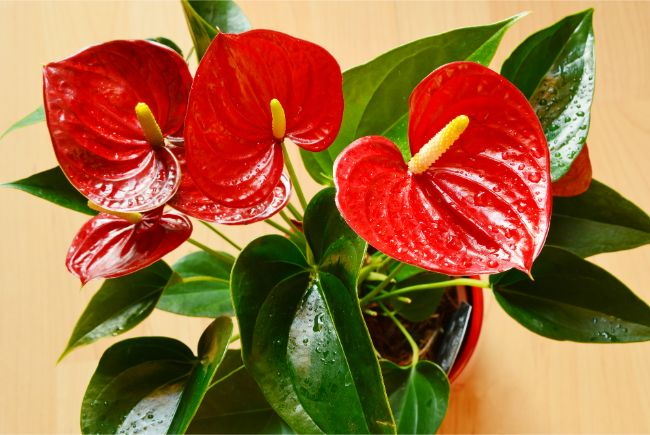 anthurium leaves turning yellow flamingo flower