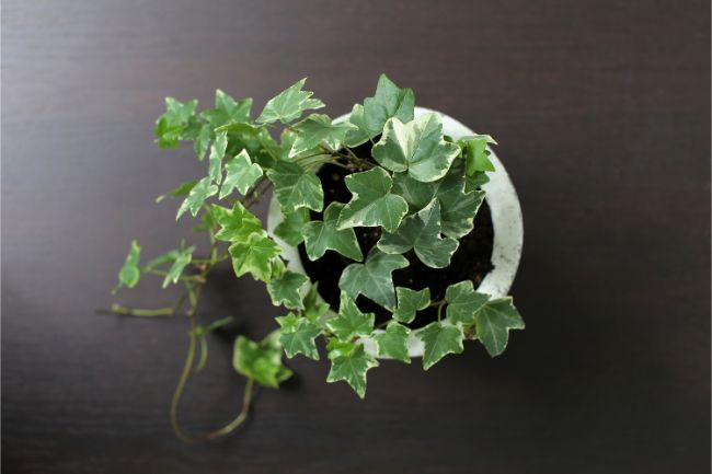 english ivy is a good choice for closed terrarium