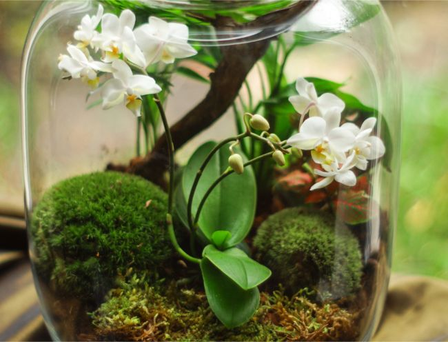 miniature phalaenopsis orchids closed terrarium plants