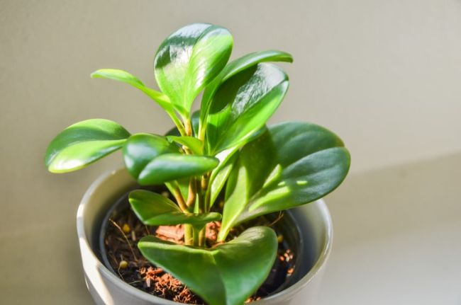 peperomia plants are good choices for closed terrariums