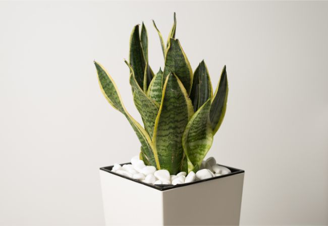 snake plant leaves curling sansevieria trifasciata