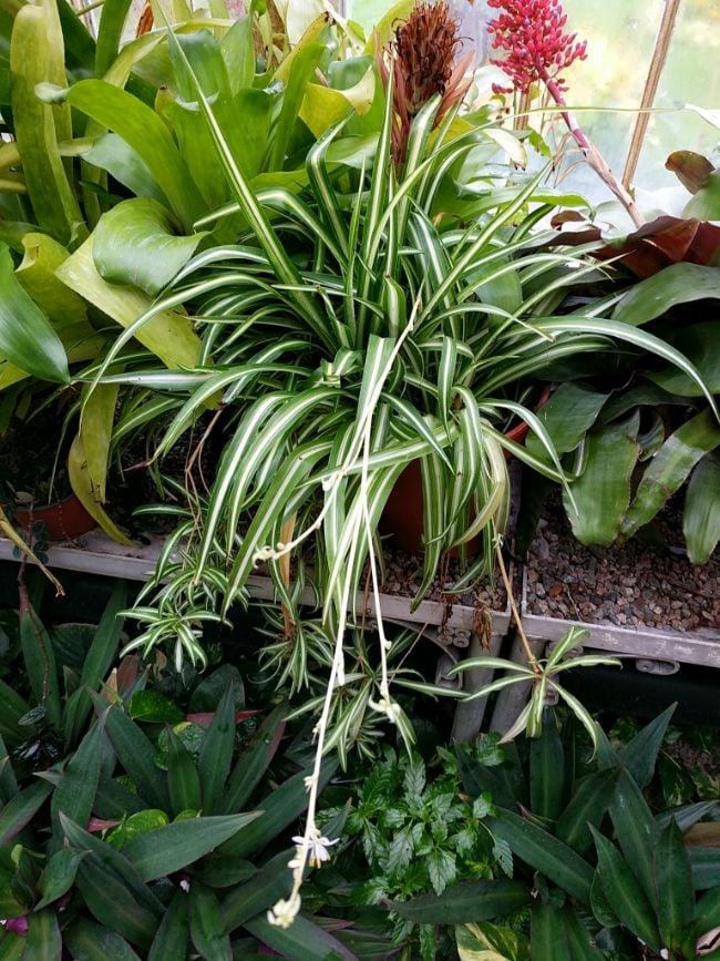 spider plant babies and flowers chlorophytum comosum
