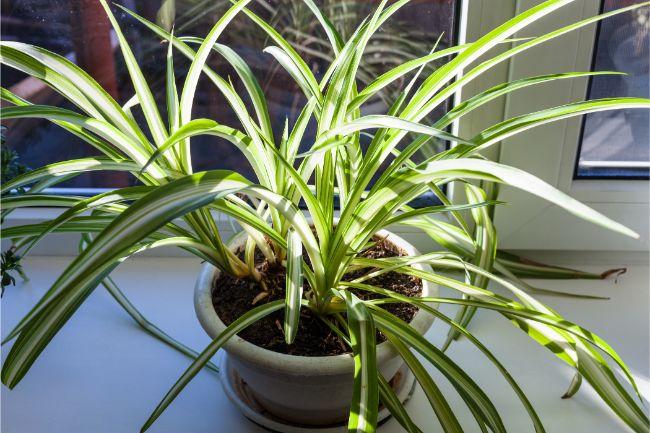 spider plant dying chlorophytum comosum