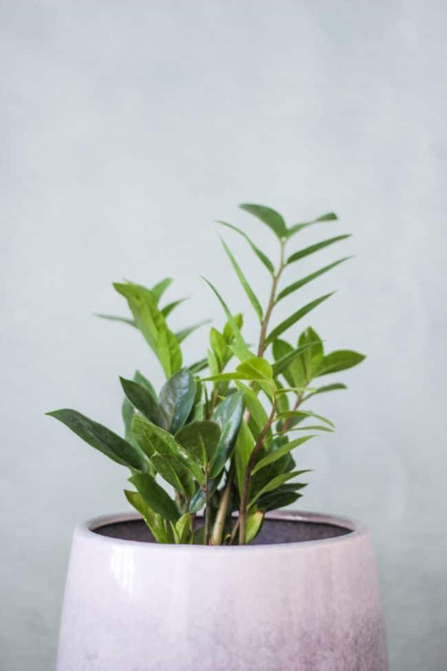 zz plant watering zamioculcas zamiifolia
