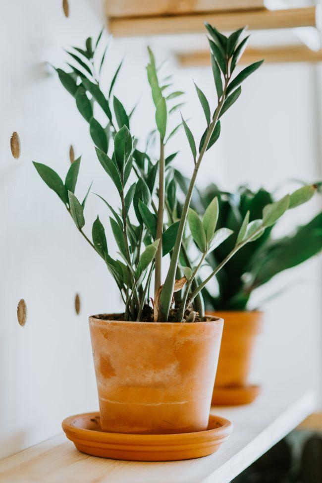Zz Plant Watering Guide Zamioculcas Zamiifolia Smart