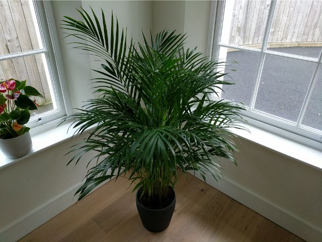 areca palm brown tips and leaves caused by insufficient light