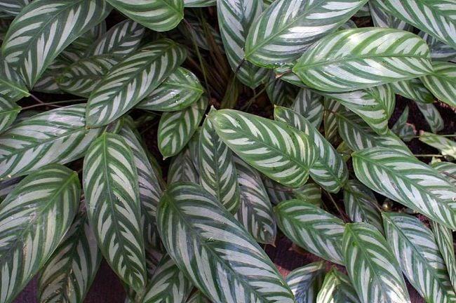 ctenanthe plant never never plant