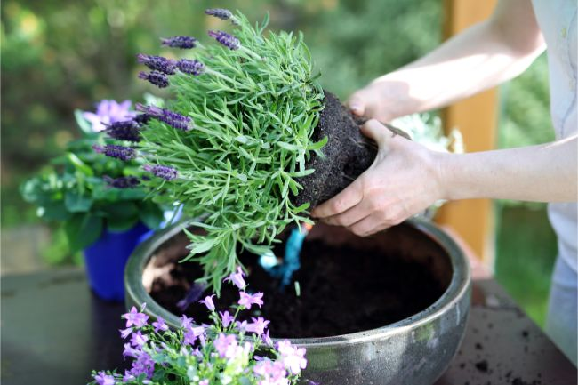 growing lavender indoors repotting