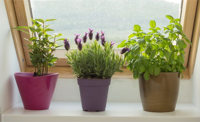 lavender plant care indoors bright light