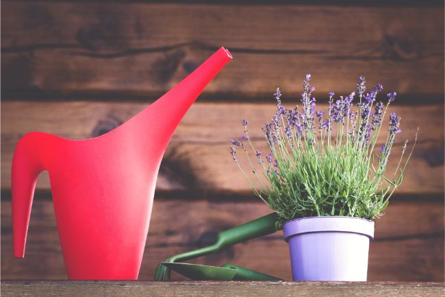 how to care for lavender indoors watering requirements